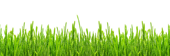 Fototapete - fresh spring green grass with drops of dew, isolated on white background, border design panoramic banner