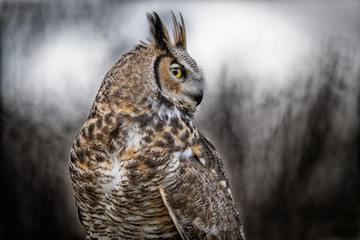 Fototapete - Grey Horned Owl