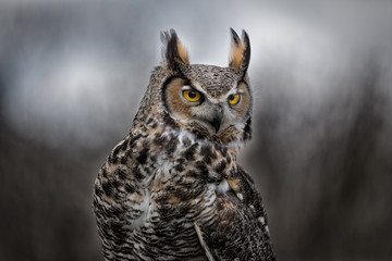 Wall Mural - Grey Horned Owl