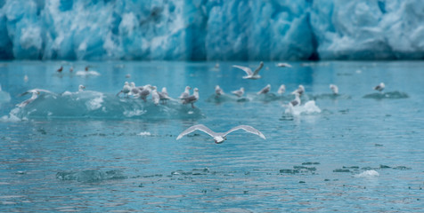 sea gull flying in front of a glacier surrounded by more seagulls