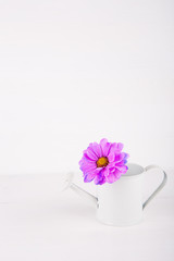 Closeup little white watering can with single flower of purple chrysanthemum on white wooden background