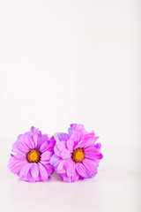 Two beautiful purple chrysanthemum flowers on white wooden background