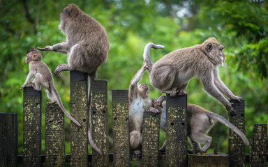 Fotorolgordijn Aap Macaque Monkeys