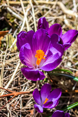 Beautiful violet crocuses in the garden, close up and macro shot, showing details of petals.