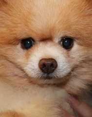 TAN POMERANIAN DOG