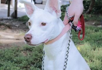 BEAUTIFUL WHITE GERMAN SHEPHERD DOG