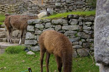 Llama in Situ