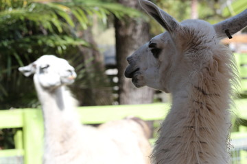 Funny portrait of Two llamas / Silly Animals