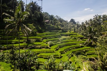 Tuinposter Rijstvelden Tegalalang ricefields, one of the most beautiful rice fields in Bali island.