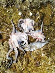 Oktopus Tintenfisch Krake und Goldbrasse gejagt im Mittelmeer Steinzeiternährung