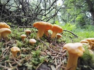 Gelbe Eierschwammerl Pfifferlinge Wald Waldboden Österreich Tirol