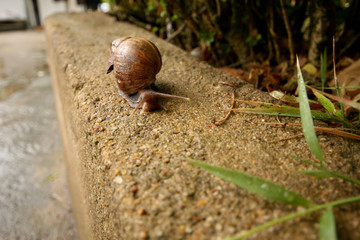 wet snail with a brown shell creeps along the curb in the rain