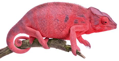 caméléon rouge, fond blanc