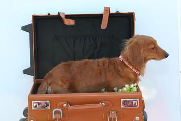 犬 ダックスフンド トランク 旅行イメージ