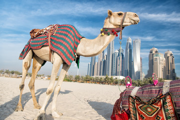 DUBAI Camels on skyscrapers background at the beach . UAE Dubai Marina JBR beach style: camels and skyscrapers. modern buildings business style. history and modern of UAE