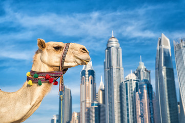 DUBAI Camel on skyscrapers background at the beach . UAE Dubai Marina JBR beach style: camels and skyscrapers. modern buildings business style. uae history and modern