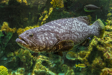 Underwater giant grouper fish. Big Epinephelus itajara.