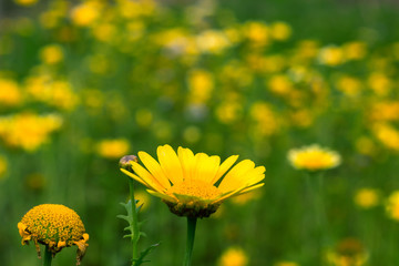 Field of daisy flowers.