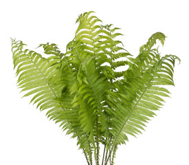 Real bush of a green forest fern  plant