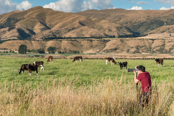 Young Asian male photographer taking photos of cows in the farm. Livestock in South Island, New Zealand. Travel and photography concepts