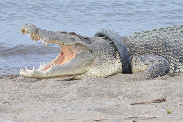 A crocodile that has had a motorcycle tyre arouund its neck for at least 2 years, sunbaths on a beach in Palu City, Central Sulawesi
