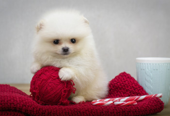 Small beautiful puppy. Spitz puppy.