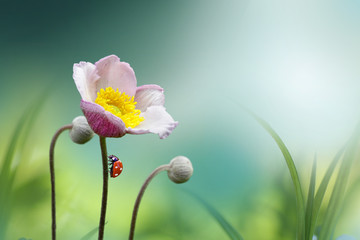 Wall Mural - Beautiful pink flower anemones fresh spring morning on nature with ladybug on blurred soft blue green background, macro. Spring template, fabulous elegant amazing artistic image.