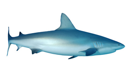 Grey Reef Shark isolated on white background