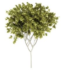 norway maple tree isolated on white background. 3d illustration