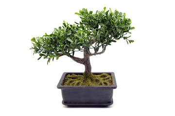 potted bonsai tree at white isolated background