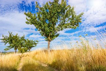 Apfelbäume am Feldrand im Sommer