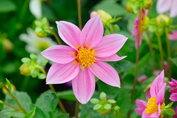 Dahlia on background of flowerbeds.