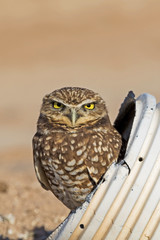 Bird burrowing owl hides at drainage pipe