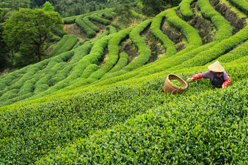 Farmer picking tea leaves on plantation