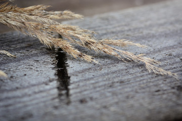 Dry calamagrostis branch on a grey wooden table