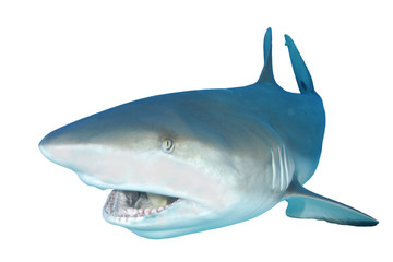 Shark bite. Shark isolated on white background. Caribbean Reef Shark