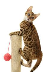 Bengal cat kitten climbing a scratch post