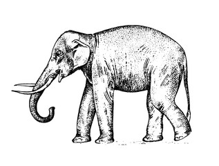 Indian elephant. wild animal in warm country. engraved hand drawn realistic in old sketch, vintage style.