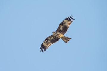 Black-eared Kite looking prey in the sky