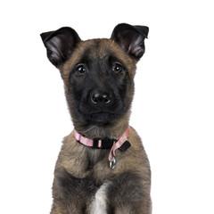 Head shot of Belgian shepherd dog / puppy looking up isolated on white background