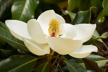 A perfect creamy-white magnolia blossom amongst rich green leaves