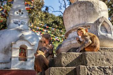 Rhesus Macaque, Swayambhunath, Kathmandu, Nepal