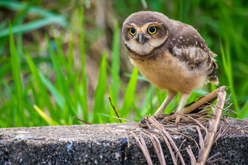 Wild owl with green grass background