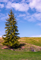 tall spruce tree on the grassy hillside. lovely springtime nature scenery with blue sky and some clouds