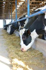 Dairy farm, feeding cows on farm