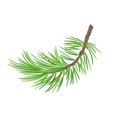 Branch pine tree  isolated on a white background botanical vintage vector illustration editable hand draw