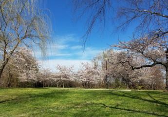 The Cherry Blossom Festival in Washington DC, USA
