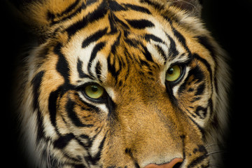 Portrait face tiger