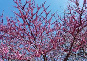Blooming pink flowers in spring against a blue sky.