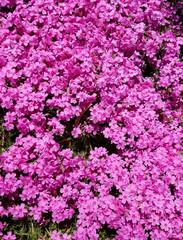 Wax-myrtle pink flower bed